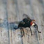 mosca[1].jpg